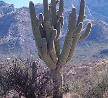 Silent Guardian ~ Saguaro National Park East  by RinconCreek