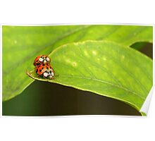 Ladybugs mating Poster