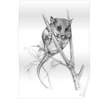 Pigmy Possum Poster