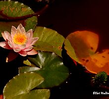 Lily Pad and Flower by Elliot MacDonald