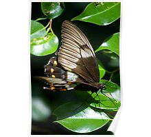 Butterfly - Australia Poster