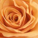 Orange rose 1 by BecQuist