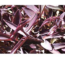 Purple Patch Photographic Print