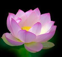 Blissful - Lotus, Sydney Royal Botanic Gardens, NSW by Mark Richards