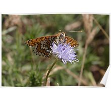Glanville Fritillary butterfly Poster