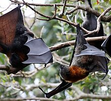 Grey-headed Flying Fox - Pteropus poliocephalus by Normf