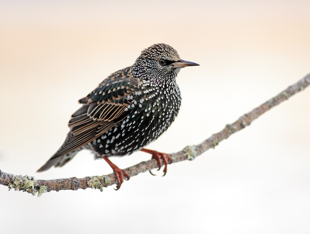Starling by Grant Glendinning