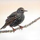 Starling by Photo Scotland