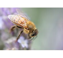 Soft on Bees Photographic Print