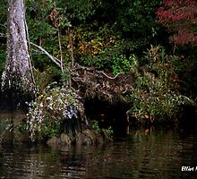 Waccamaw Cypress Swamp, South Carolina by Elliot MacDonald