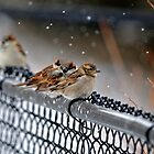 House Sparrows by Ron Kube