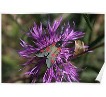 Narrow Bordered 5 Spot Burnet Moth Poster