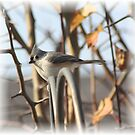 Tufted Titmouse by rasnidreamer