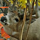 Male Deer Closeup by Dennis Stewart