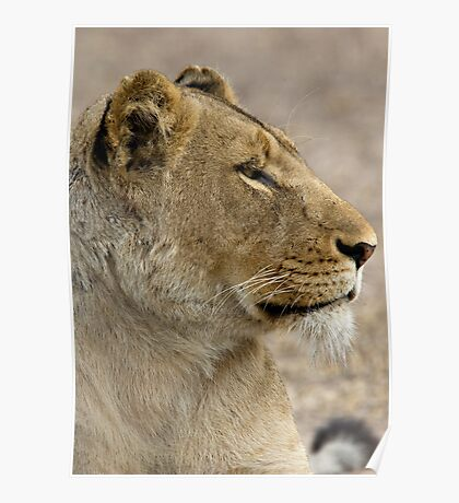 Lioness Profile Poster