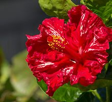 Red Hibiscus by JLOPhotography