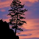 sunset bonzia tree by Rodney55