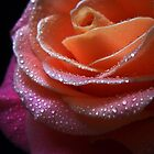 Gentle Rose. by Vitta