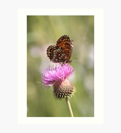 False Heath Fritillary butterfly Art Print