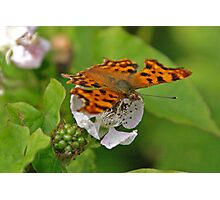 Comma butterfly nectaring Photographic Print