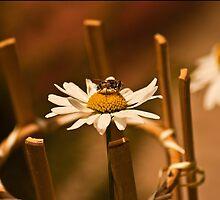 Calm Bee by Deni Dedic