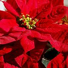 Poinsettia by loiteke