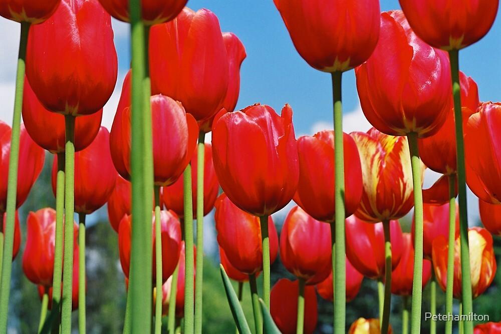 Floriade Tulips 2 by Petehamilton