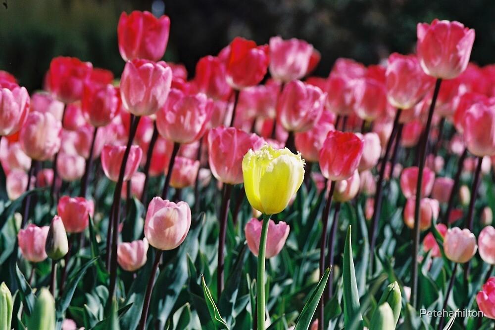 Yellow Tulip at Floriade. by Petehamilton