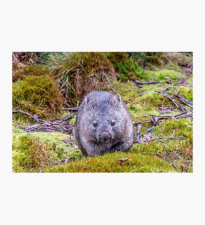 Furry Friend - Tasmanian Wombat Photographic Print