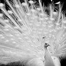White peacock posing by aleksandra15