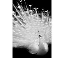 White peacock posing Photographic Print