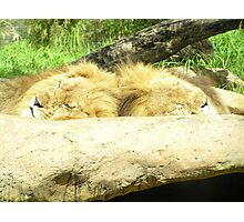Lions asleep at Perth Zoo Photographic Print
