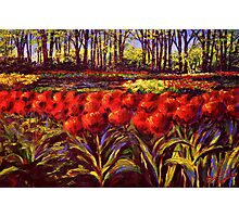 The Red Tulips in Keukenhof Photographic Print