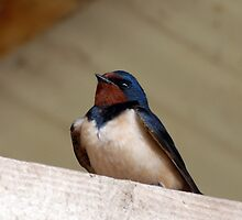 Swallow by rosie320d