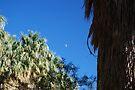 Coachella palms by skreklow
