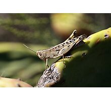 Grasshopper on a Cactus Photographic Print