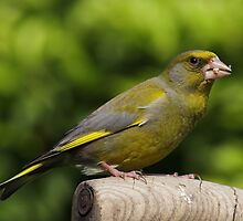 Greenfinch on old wooden garden fork handle by Mick Gosling