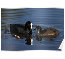 Coot and chick Poster