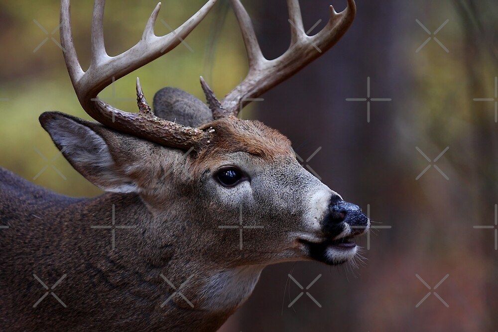 Big 10-pointer - White-tailed Deer by Jim Cumming