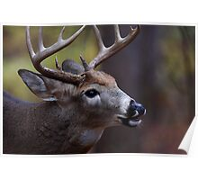Big 10-pointer - White-tailed Deer Poster