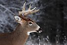 Catching Snowflakes - White-tailed Deer by Jim Cumming