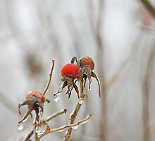 Glazed Rosehips by Mike Oxley