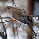 Dove on a Snowy Day by Catherine Sherman