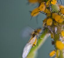 yellow aphids by jude walton