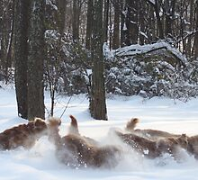 Flying Snowy Goldens 09 by goldnzrule