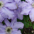 Clematis Blooms by RichardJohns