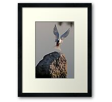 Have fish, will land - Common Tern Framed Print