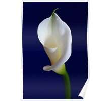 Calla Water Lily Poster