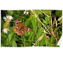 Buckeye Butterfly in Nature Poster