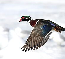 Wood Duck in flight by Jim Cumming